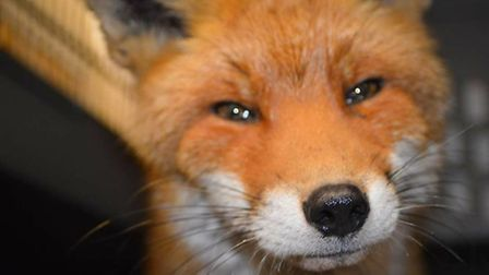 Basil the Fox who was rescued from Doddington by Dan Martin - on Facebook as That Wildlife Rescue Gu