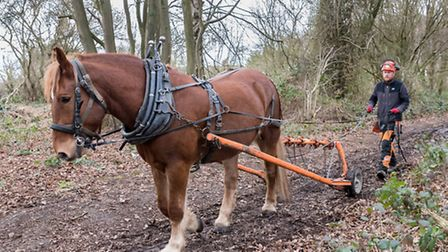 Easton Roy the Suffolk Punch horse pulling logs, guided by Matt Waller of Hawthorn Heavy Horses. Pic