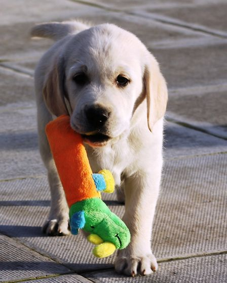 Pascol is in training for Dogs For Good thanks to fund raising from March Golf Club ladies section P