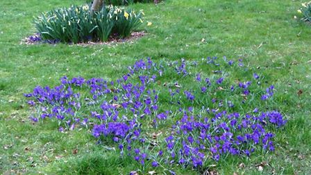 Crocuses have also been planted in Ship Lane, Ely. PHOTO: Frank Connolly