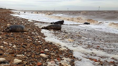 Hunstanton SEA LIFE Sanctuary had their first official release of the season with four seals being r