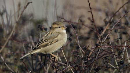 The House sparrow was the most-seen bird in Cambridgeshire during the RSPBS' Big Garden Birdwatch in