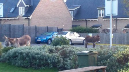 Two escaped donkeys found wandering up and down Asda car park in Soham - they were out enjoying 'a