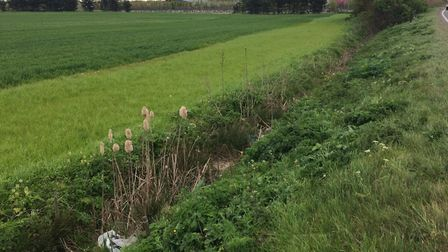 Efforts have been made to protect the fen ragwort, pictured here in a dyke between Ely and Soham. PH