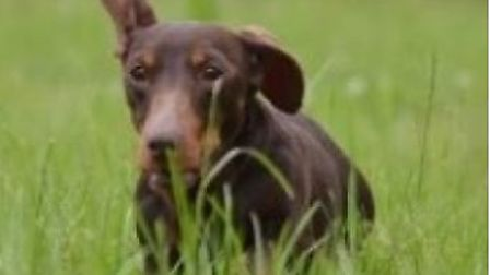 Millie a miniature dachshund has been stolen from a home in Upwell with three others. Lost Dog - the
