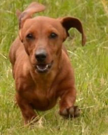 Lola a miniature dachshund has been stolen from a home in Upwell with three others. Lost Dog - the v