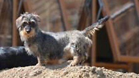 Florence a miniature dachshund has been stolen from a home in Upwell with three others. Lost Dog - t