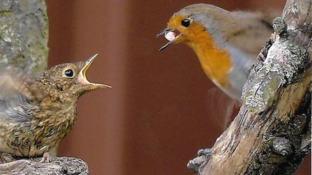 A robin feeds its young In a March garden PHOTO: Tony Wayman