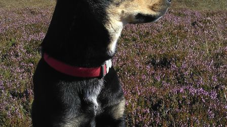 Have you seen kelpie cross Jack? She went missing between Little Thetford and Stretham at around 10p
