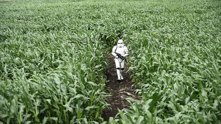 A Storm Trooper lost in the Star Wars themed Skylark Maize Maze at Manea. Picture: Ian Burt