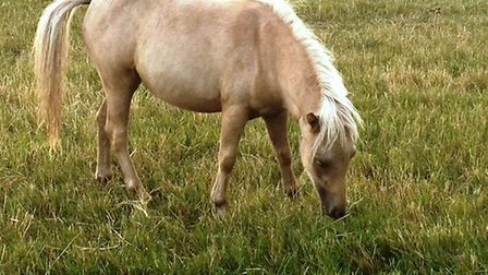 Seven of eight miniature ponies stolen from Stonea are recovered - this Palomino pony is still missi