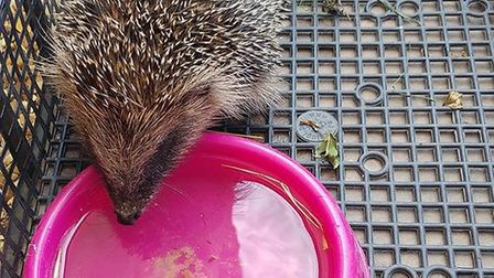 Lyn of Littleport writes about Charlie the hedgehog in her column this week (July 7).