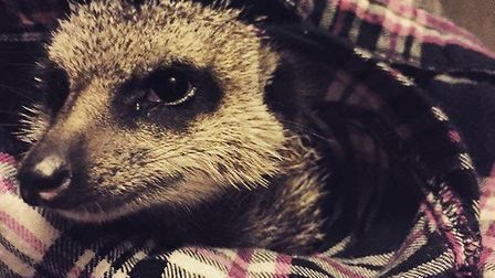 A meerkat from Exotic Animal Encounters, Whittlesey PHOTO: Exotic Animal Encounter