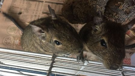 Degus Rocco and Cory have found a new home thanks to a volunteer at Block Fen Animal Centre in Wimbl