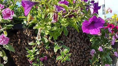 Better days: One of Chatteris in Bloom's hanging baskets last year.