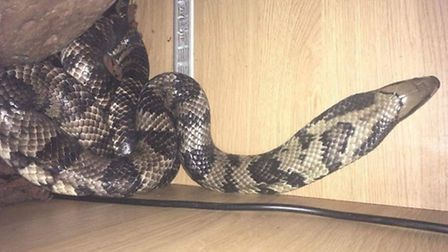 March woman calls RSPCA after 5ft poisonous cobra gets under her wardrobe