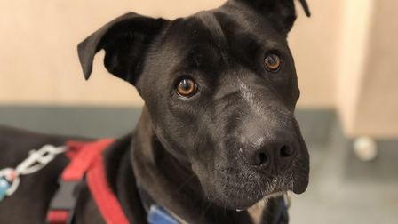 Can you give adorable Stanley a loving home? He's been waiting at RSPCA Block Fen for 400 days