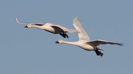 Surveys have revealed that the swan count in Fenland is 'very low'