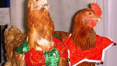 Hundreds of Cambridgeshire hens are hoping to enjoy their first Christmas in a safe new home - here