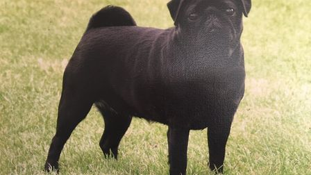 Just before Christmas, three prize winning female pugs, were taken from Michael Quinney's home in Ma