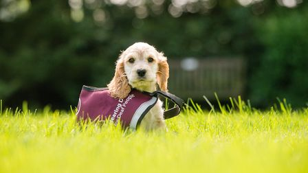 Hearing Dogs for Deaf People. Hebe is one of the pups in training. PHOTO: Paul Wilkinson