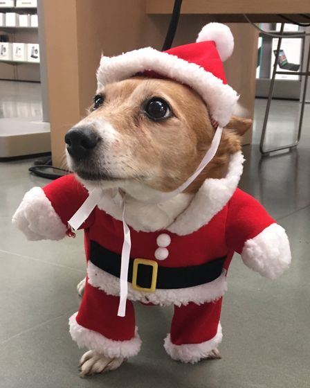 Santa will be bringing his little helper dog Lola - a short legged JackRussel Terrier - to The Minst