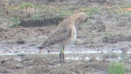 A Project Godwit headstarted bird at WWT Steart Marshes with rings. Picture: Joe Cockram.
