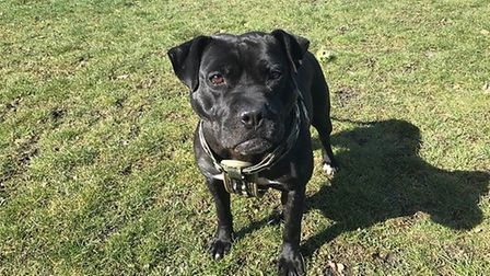 Three-year-old Kali was rescued from a fighting ring in Hertfordshire by the RSPCA. She has been car