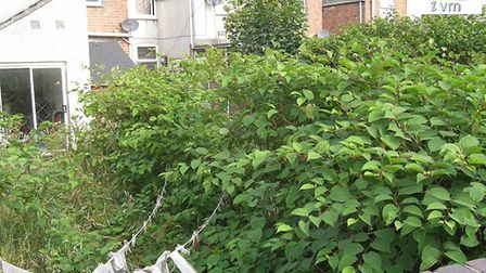 Council brings in specialists to eradicate Japanese Knotweed - Britain's most invasive plant - from
