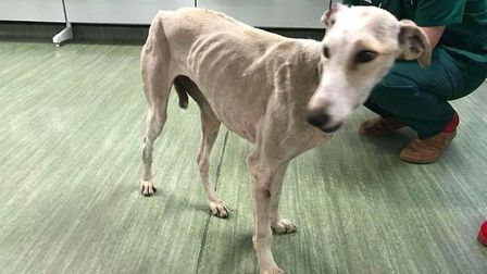 Bunny the whippet cross is rescued by Ravenswood Pet Rescue running scared in fields around Chatteri