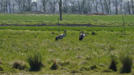 Cranes have bred for the first time on the reserve. Picture: Kim Tarsey