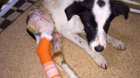 Rescue dog Layla for whom an appeal has been launched to raise £2,000 for emergency operations. So f