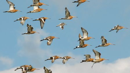 Birdwatchers are being urged to look out for these rare Godwit birds. PHOTO: James Lees