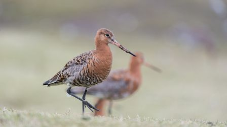 Birdwatchers are being urged to look out for these rare Godwit birds. PHOTO: Nigel Snell
