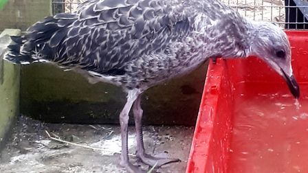 Abandoned baby seagull 'Happy Feet' cared for by Whittlesey veterinary practice Best Friends until r