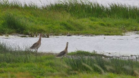 The godwits were later released into the Cambridgeshire Fens. Picture: BOB ELLIS