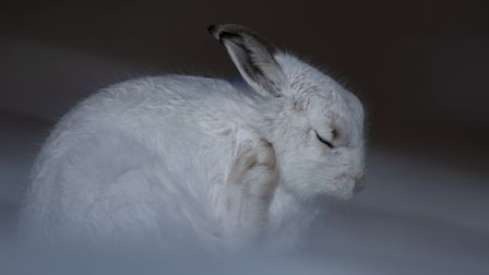 Acrtic hare by Richard Whitmore Ely Photographic Club PHOTO: Viv Houghton