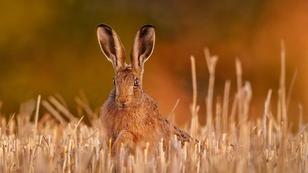 Harvest hare by Kevin Pigney. Ely Photographic Club. PHOTO: Kevin Pigney