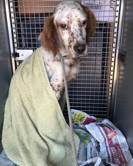 English Setter is found starving and iwth tar matted int his fur. He now needs a name. PHOTO: Ravens