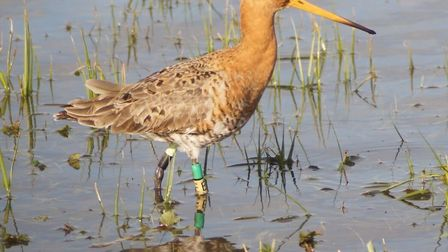 Rare birds beat the odds with a bumper year: Project Godwit is a partnership between RSPB and WWTMan