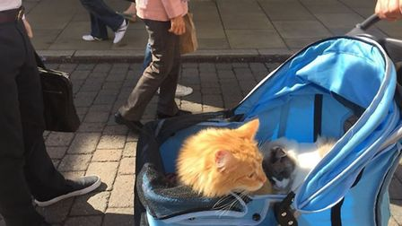 The cats belonging to Anna-Marie Day who go out in an improvised buggy to take them regularly to hav