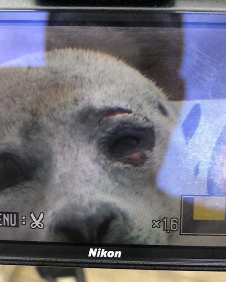 Tonight's photos of the rescued - and treated - seal. PHOTO: Courtesy of Trev Wright, a volunteer wi