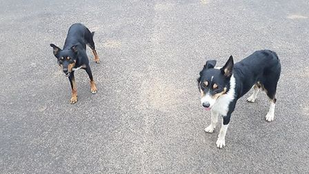 Three dogs stolen from a Nottingham farmer's pick-up truck have been found alive and well in Cambrid