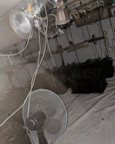 These cannabis plants – with an estimated street value of £48,000 – have been seized from a home in