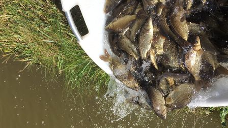 The F1 has joined other carp species currently in Snake Lake to extend the current feeding season. P