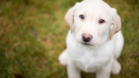 Otto is one of the puppies trained to be an assistance dog with Hearing Dogs for the Deaf. The Chatt