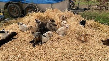 The animals were discovered at an illegal encampment and are now being looked after by the RSPCA. Pi