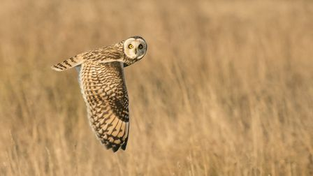 Short-eared owls and hen harriers return to Cambridgeshire for winter. Picture(s): WENDY COOPER / RI