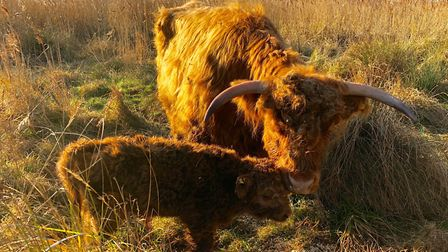 A Highland calf was born at Wicken Fen on New Year's Day. Picture: JULIA HAMMOND