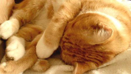 Garfield takes a nap after his book signing session at Ely library. Picture: MR SAINSBURY'S GARFIELD